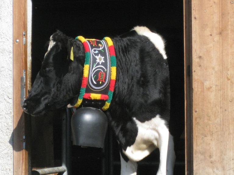 bellissima mucca di Malga Trenca