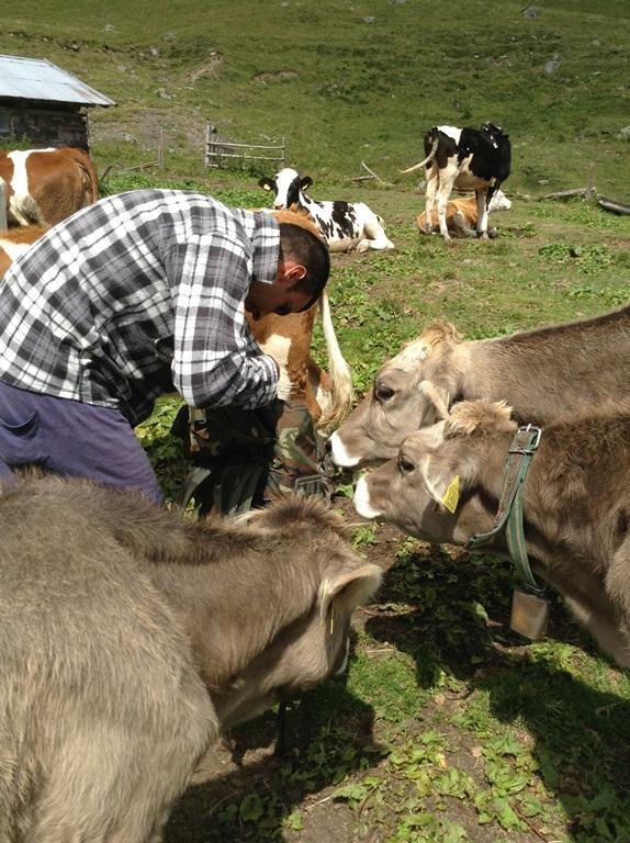 Le mucche di Malga Montalon
